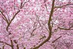 Cherry Blossom Tree by admx