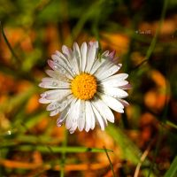 Rainy Daisy by Lain-AwakeAtNight