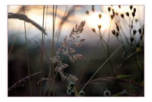 Grass at sunset by paddimir