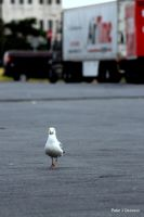 Lonely Gull by peterjdejesus