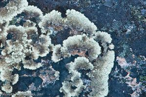 Lichen: Blue and White by amrodel