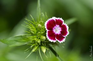 Dianthus. by Phototubby