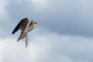Falcon - Flying 6 by gaothaire