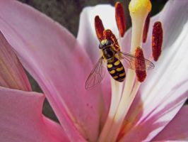 Hoverfly on Lily 2 by Paul774
