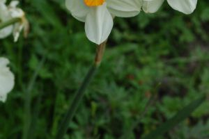 narcissus ll by ImpalaStock