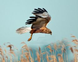 Marsh Harrier ( male ) by pixellence2