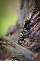 Fire Salamander by amrodel