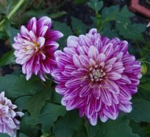 Summer 2015 Purple Dahlia Stock 4 by anbdstock