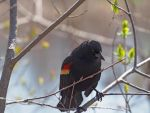 Red Wing Blackbird 1 by CiacoAgain
