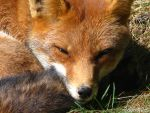 Red fox close-up by Momotte2