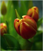 first spring tulip buds by SvitakovaEva