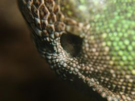 Lacerta viridis ear by DaOldHorse