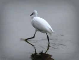 Little Egret by Cherry-Cheese-Cake