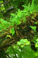 fern---forest by cheah77