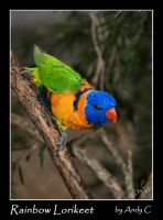 Rainbow Lorikeet by 2Stupid2Duck
