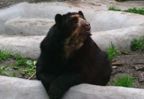 Spectacled Bear by DeingeL