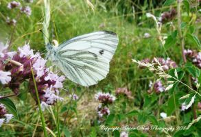 Green-veined White. by AdrianDunk