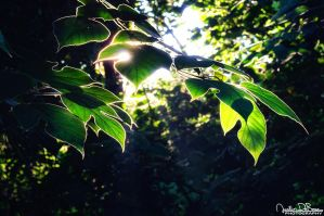Sunlit Canopy by JustinDeRosa