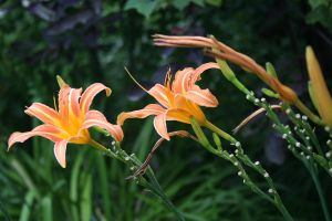 Tiger Lillies by greenwalled1