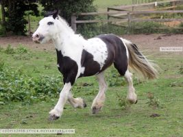 Traditional Gypsy Cob Stock 3 by s-uperflu0us
