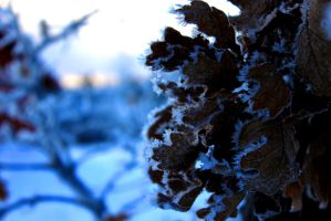 Frosty oak by Syzygi