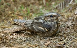 The elusive Nightjar by Jamie-MacArthur