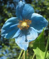 HIMALAYAN BLUE POPPY by 1arcticfox