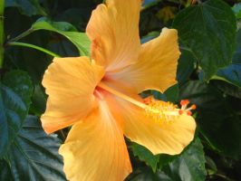 yellow Hibiscus 3 by crazygardener
