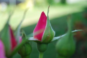 Pink Rosebud by tigpc