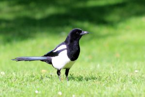 Curious Magpie by pagan-live-style