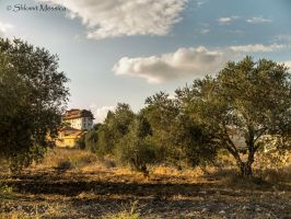 Olive trees in Metula 2 by ShlomitMessica