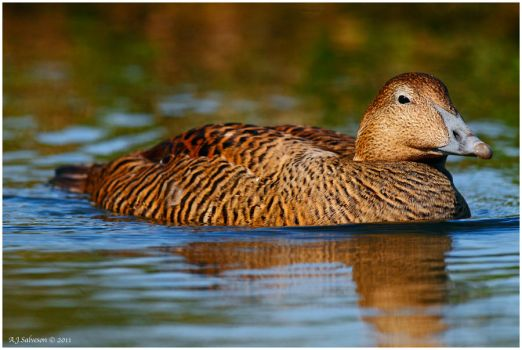 Female Eider by andy-j-s