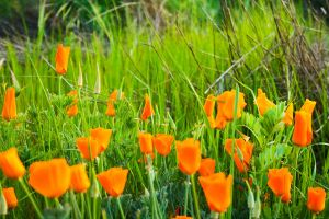 Sunny Golden Poppies by shadowryuu13