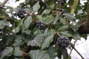 Black berries on a cold winter's morning by Mecarion