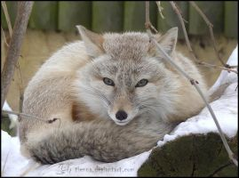 Corsac Fox by Tienna