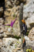 Agama on a cactus by CyclicalCore