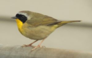 Male common yellowthroat by Laur720