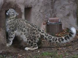 Snow Leopard 03 by animalphotos