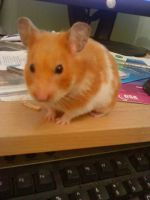 I found a hamster on my desk. by KatieMatie