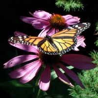 The Monarch Butterfly I by hyneige
