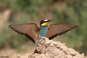Merops apiaster by RichardConstantinoff