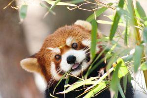 Red Panda 2 by Maginater