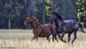 running horses by Yair-Leibovich