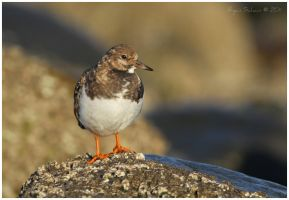 Nonbreeding Ruddy Turnstone by Ryser915