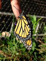 Monarch Butterfly by WarriorCatLuver123
