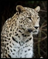 persian leopard by morho
