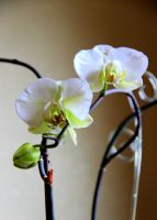Mom's orchids 2 by Lazysnow