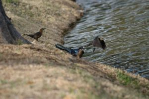 Two Common Grackles by AquaVixie