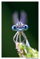 BLUE GLASS-EYE by CAGATAYATASAGUN
