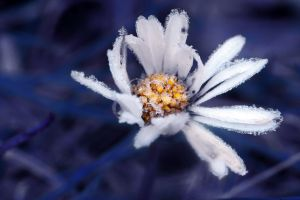 Blue Frozen Daisy by LaChRiZ